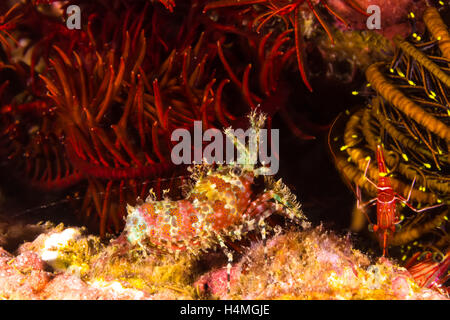 Marmoratus Stock Photos Amp Marmoratus Stock Images Alamy