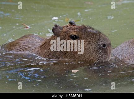 Capybara Swimming Pool Capybaras Stock Photos...