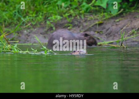 Eurasian beavers / European beaver (Castor fiber) collecting vegetation for food cache in pond - Stock Image