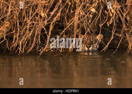A Jaguar swims under overhanging vegetation in the Pantanal - Stock Image