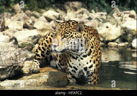jaguar standing - photo #20