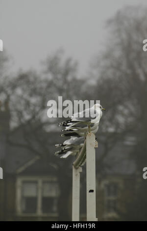 London, UK. 30th Dec, 2016. A flock of seagulls seen perched on a goal post on a foggy morning at Wanstead Park - Stock Image