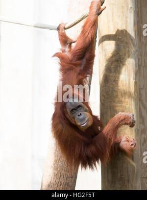 Orangutan hanging from a rope - Stock-Bilder