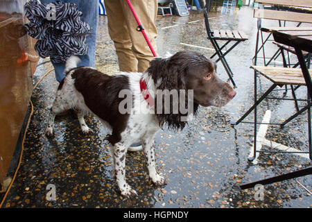 Wet brown and white spaniel dog - Stock Image