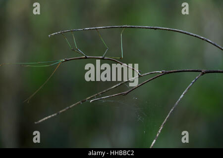 Walking stick insect on branch Ohio - Stock Image