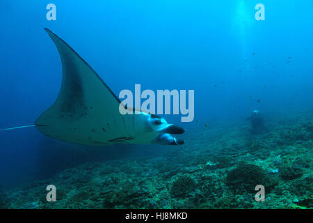 Manta Ray (Manta Birostris) Swimming over the Reef, with a Photographer in the Background. Nusa Penida, Bali, Indonesia - Stock Image