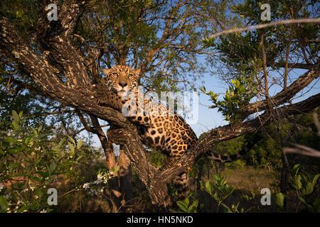 Jaguar up on a tree - Stock Image