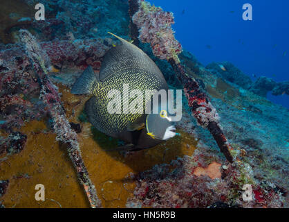 French Angelfish on the wreck of the Vandenberg, Key West, Florida. - Stock-Bilder