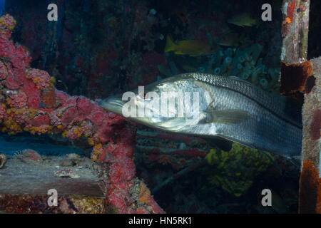 A Common snook is shown as it hides within the structure of the Aquarius Reef Base. - Stock-Bilder