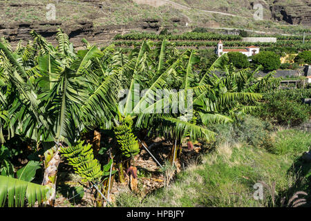 banana plantation near Tazacorte, background church Santuario de Las Angustias ,  La Palma, Canary Islands, Spain - Stock Image