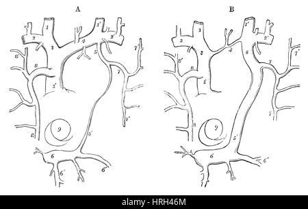 Rat circulatory additionally Arm Veins Diagram also Heart Anatomy Labeled besides Cardiovascularandrespiratorysystemsoftherat as well Thoracic Cavity. on circulatory system diagram of a rat