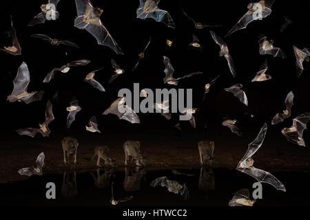 Australian Bats - Stock-Bilder