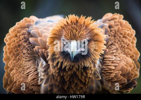 Wedge-tailed Eagle (Aquila audax) - Stock-Bilder