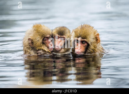 Group of Japanese macaques sitting in water in a hot spring. Japan. Nagano. Jigokudani Monkey Park. An excellent - Stock Image