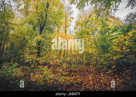 Autumn colors in the forest with autumn leaves changing colors from green to yellow in the fall - Stock Image