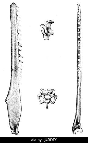 psm v10 d229 ichthyornis dispar stock image