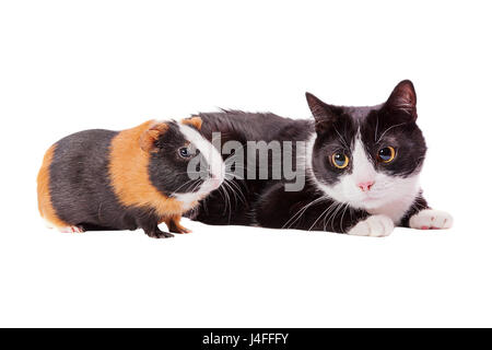 cavy and cat looking away isolated on white - Stock Image