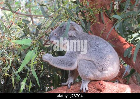 KOALA BEAR Phascolarctos cinereus.  Photo: Tony Gale - Stock-Bilder