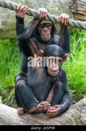 Two Chimpanzees Stock Photos & Two Chimpanzees Stock ...