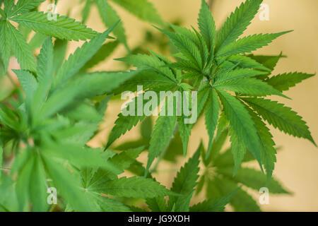 how to make marijuana tea with leaves