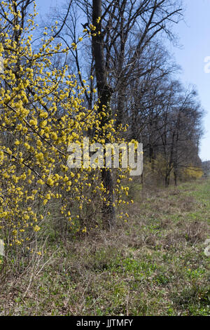 forsythia bush hedge forsythia leaves stock photos forsythia leaves stock images alamy