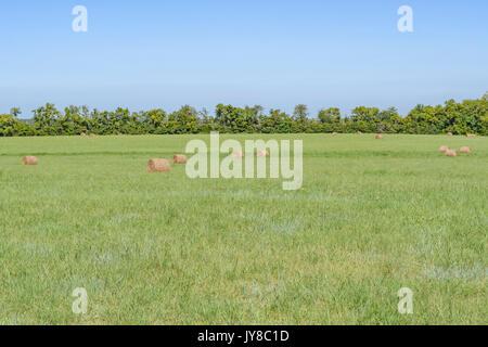 A green grass farm field with bailed rolls of dry cut hay during the last days of the summer harvest in central - Stock Image