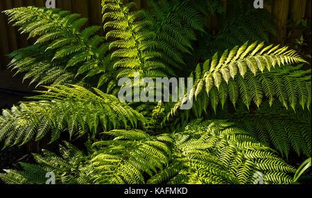Large fern in early morning sunlight, London, UK - Stock Image