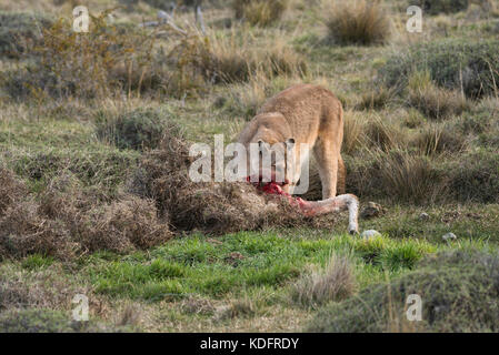A Puma eating a Guanaco at Torres del Paine, Chile - Stock Image
