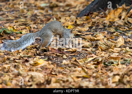 Melton Mowbray, UK. 15th Oct, 2017.   Golden colours of autumn in the local park, Squirrels begin hideing nuts as - Stock Image