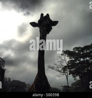 Silhouette of a giraffe - Stock Image