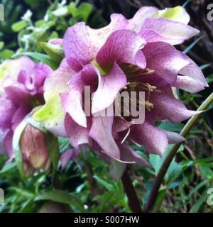 Hellebore flowers in bloom in a winter garden border. - Stock Image