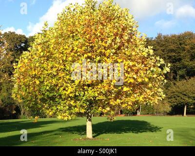 Yellow tree , rosemoor , Devon . October 2013 - Stock Image