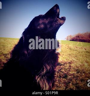 Dog howling - Stock Image