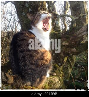 Cat yawning. Mouth wide open - Stock Image