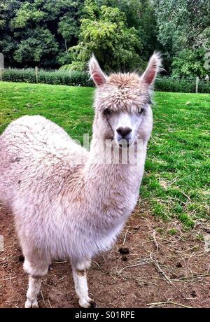 Llama in green field , cute animal - Stock-Bilder