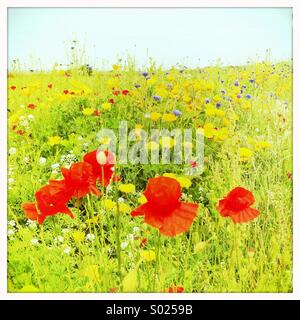 Red poppies in summer meadow - Stock Image