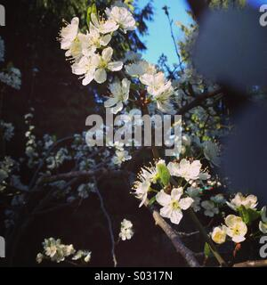Artistic photo of cherry blossoms in the spring sun. - Stock Image