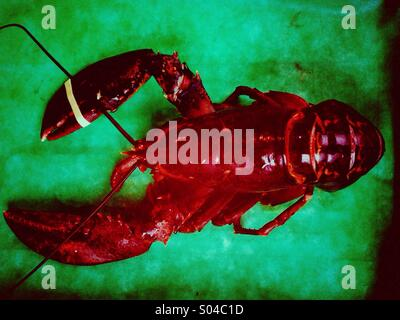 Red lobster on a green table - Stock Image