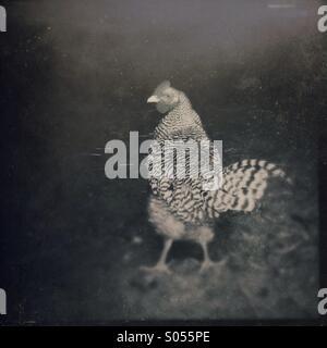 Heritage farm chicken in a barn doorway. - Stock Image