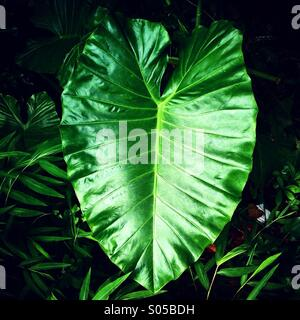 It's a photo of a fresh large leaf from a tropical plant in a botanic park or garden in Hong kong in Asia - Stock Image