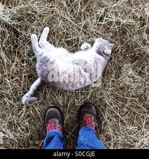 Looking down at a cat rolling around in hay on a farm in Massachusetts, USA. - Stock-Bilder