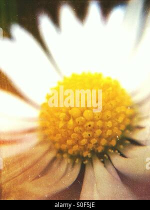 Close up of a daisy - Stock Image