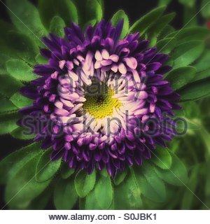 Purple Anemone Flower - Stock Image