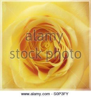 Yellow Rose Close Up - Stock Image