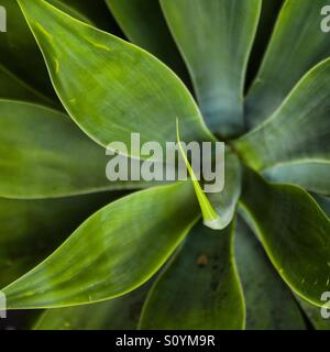 Green succulent - Stock Image