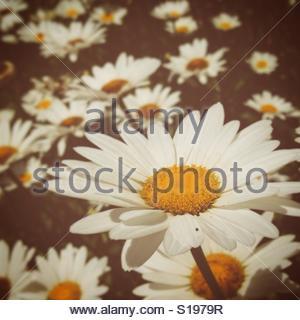 He loves me, he loves me not... - Stock-Bilder