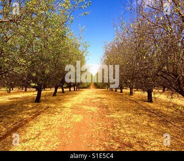 Autumnal almond trees - Stock-Bilder
