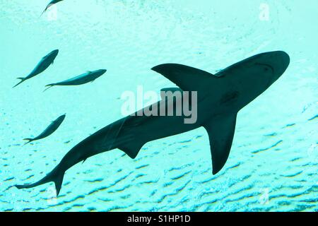 Shark swimming overhead - Stock Image