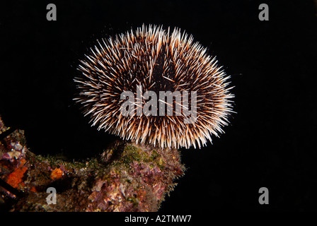 Urchin Stock Photos & Urchin Stock Images - Page 7