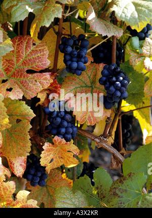Vitis Stock Photos Amp Vitis Stock Images Alamy